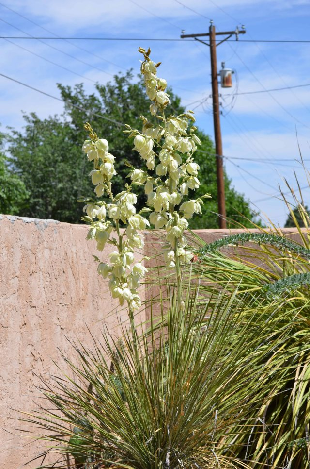 roswell yucca